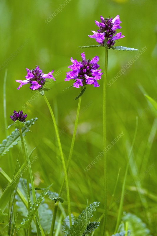 Stachys officinalis syn Betonica