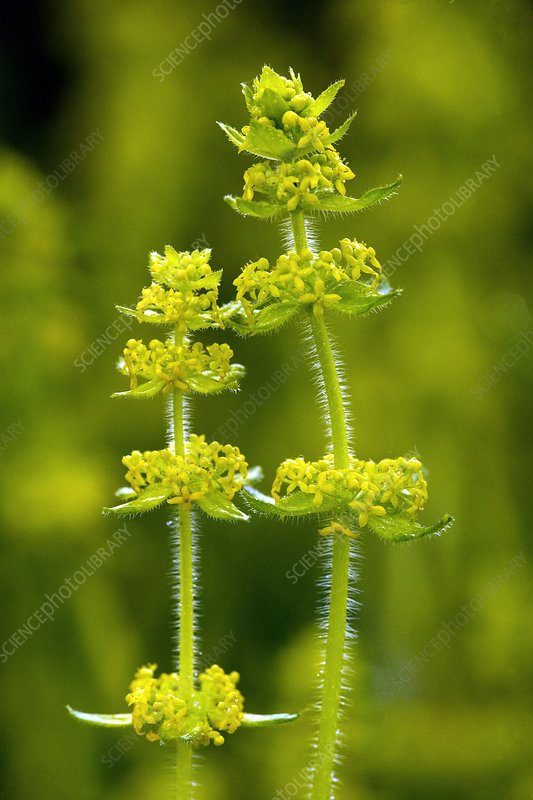Crosswort (Cruciata laevipes)