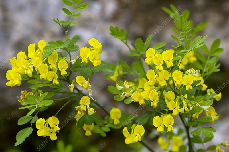 False Senna (Coronilla emerus)