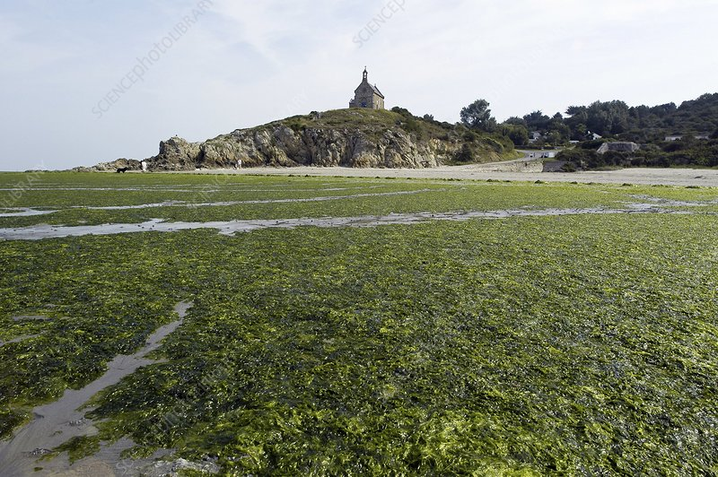 Algae covered beach, Brittany, France