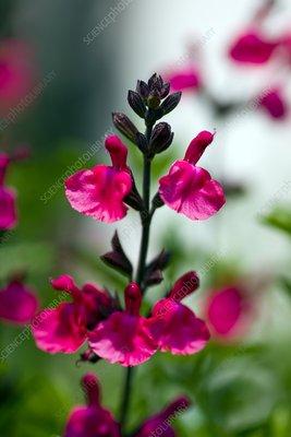 Salvia x Jamensis 'James Compton'