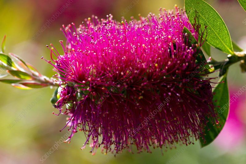 Bottle brush (Calustemon)