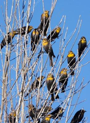 Flock of Yellow-headed blackbirds