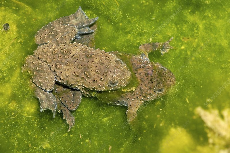 Yellow-bellied toads breeding