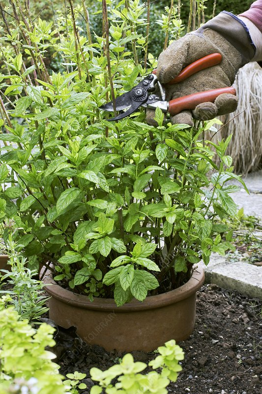 Pruning garden mint (Mentha sp.)