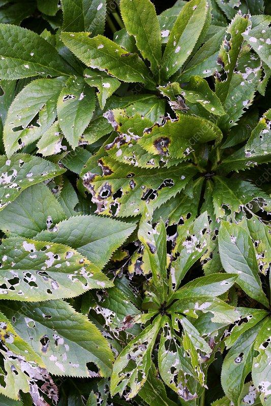 Damaged Hellebore leaves