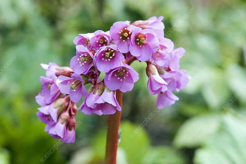 Bergenia purpurascens 'Ballawley'