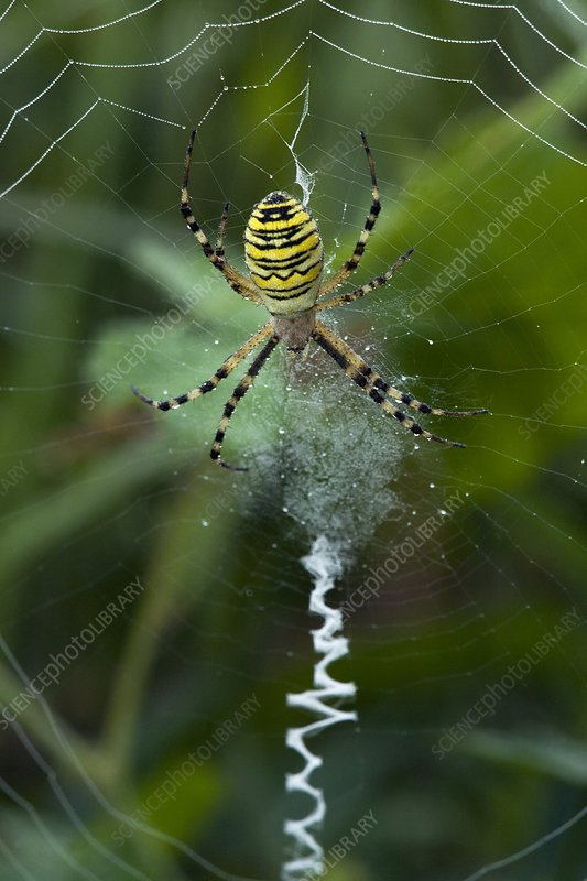 A female Wasp Spider