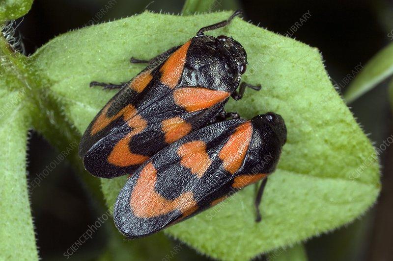Froghoppers (Cercopis vulnerata)