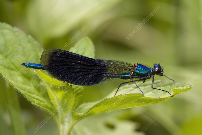 A Banded Agrion Damselfly