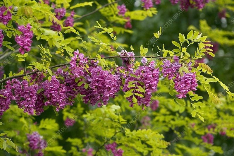 Rose Acacia (Robinia hispida)