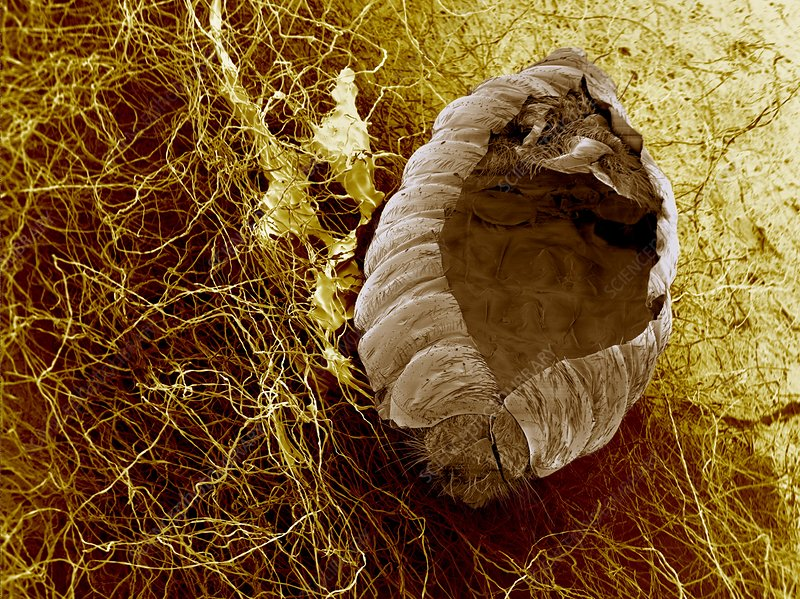 Empty insect cocoon, SEM