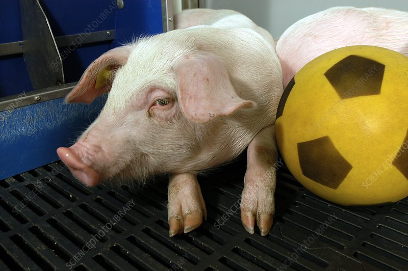 Pig football therapy