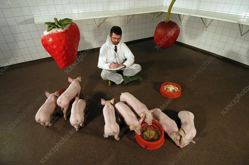 Pig taste research