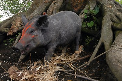 Kapia pig, Vanuatu