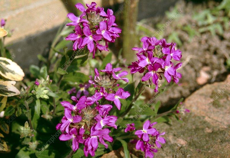 Rockcress (Arabis 'Spring Charm')