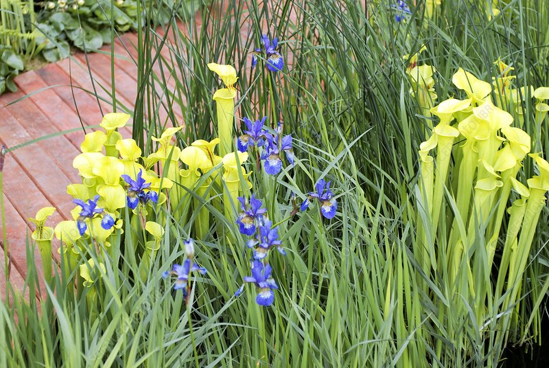 Irises and Pitcher Plants