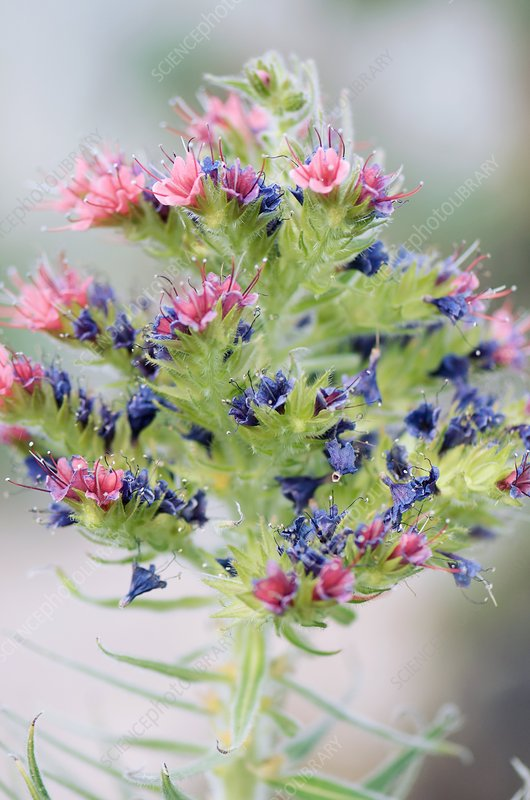 Tower of Jewels (Echium wildpretii)