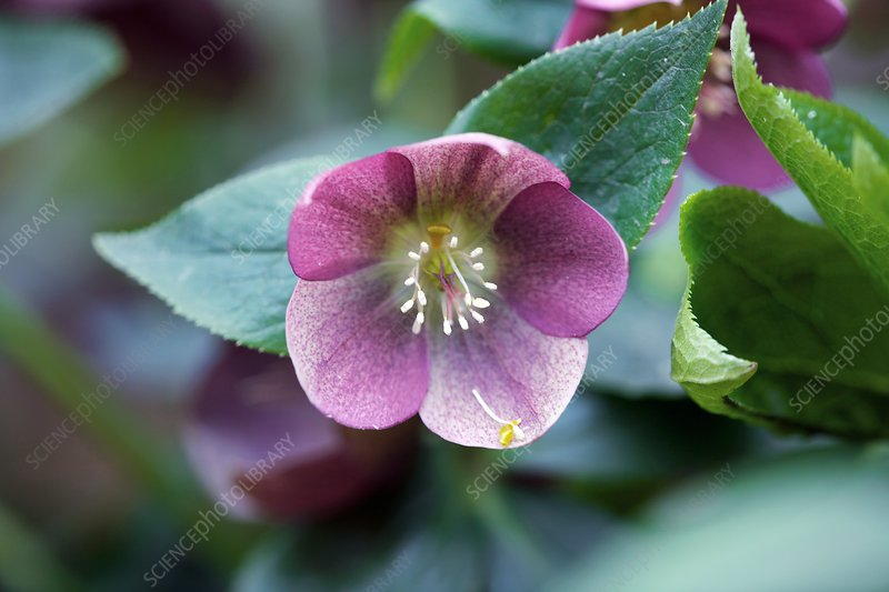 Helleborus orientalis 'Winter Queen'