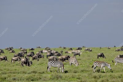Plains zebra and wildebeest, Tanzania