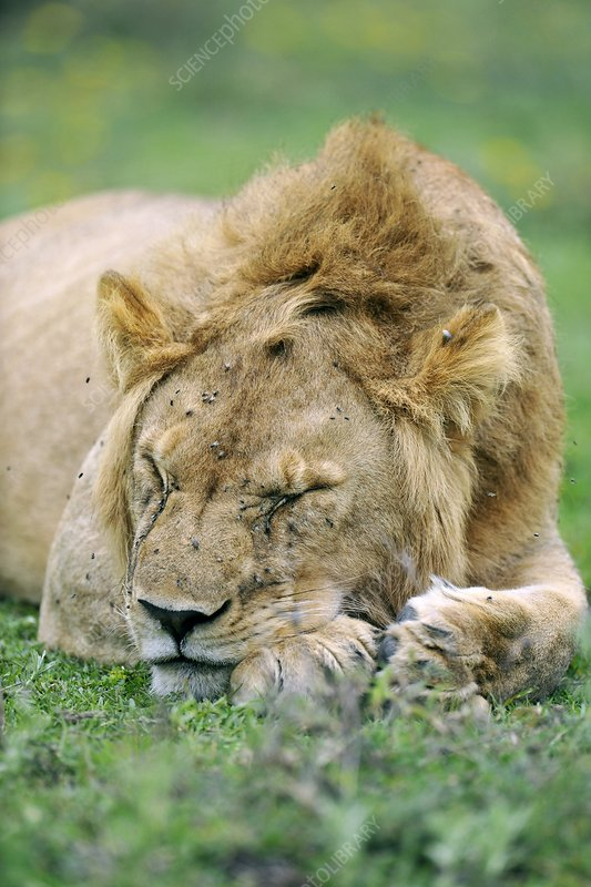 African lion sleeping