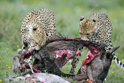 Cheetahs eating a wildebeest