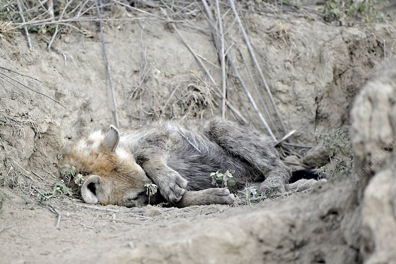 Spotted hyena resting