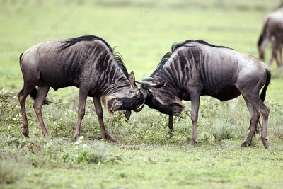 Male wildebeest fighting, Tanzania