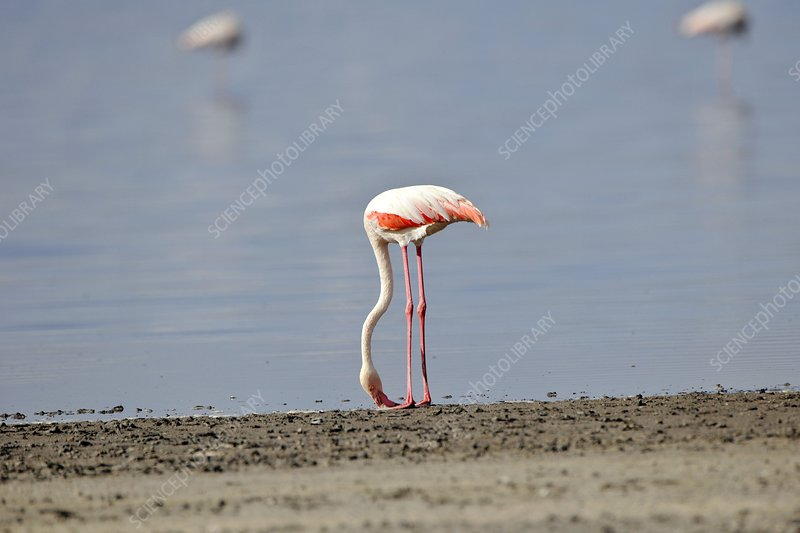 Greater flamingo foraging