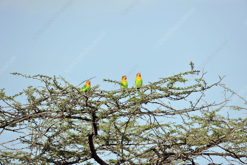 Lilian's lovebirds in a tree