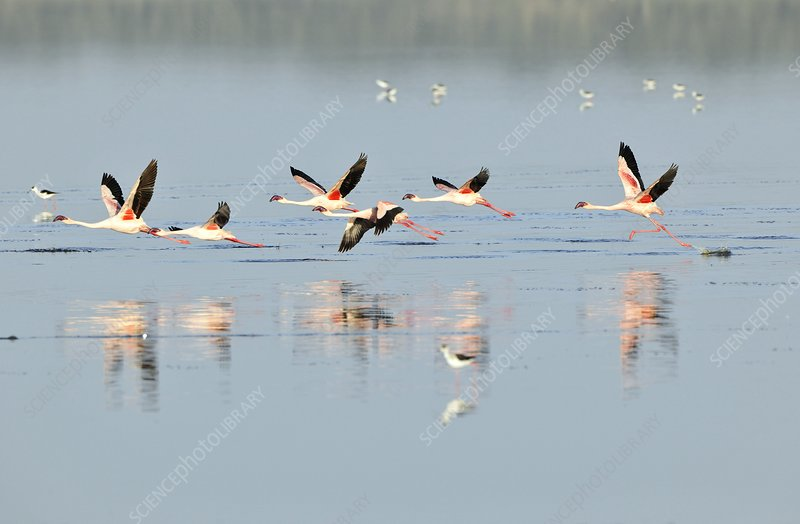 Lesser flamingos flying over water