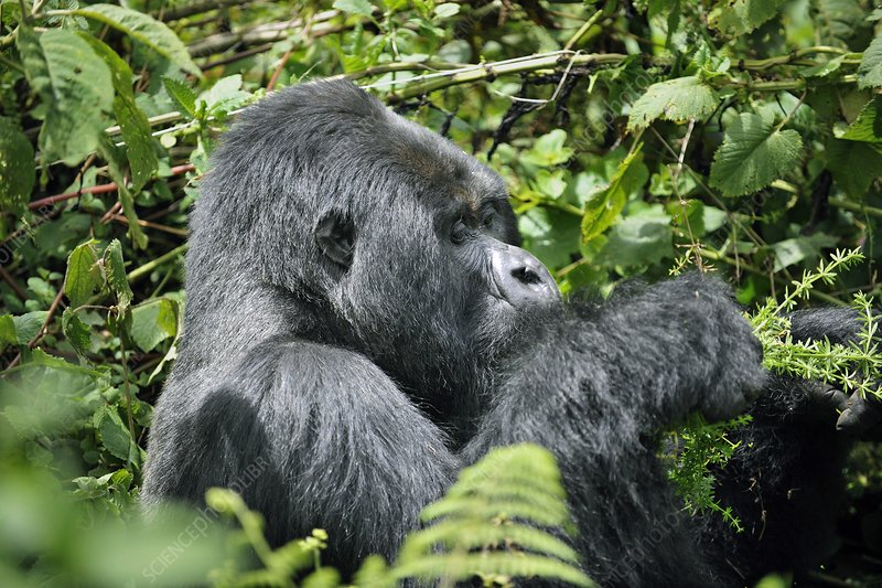 Male mountain gorilla