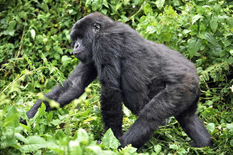 Female mountain gorilla