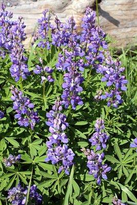 Wild lupin flowers