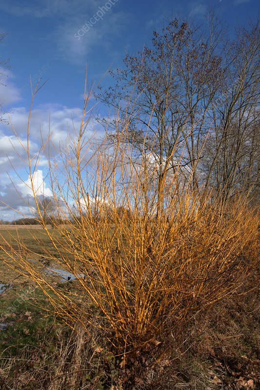 White Willow (Salix alba)