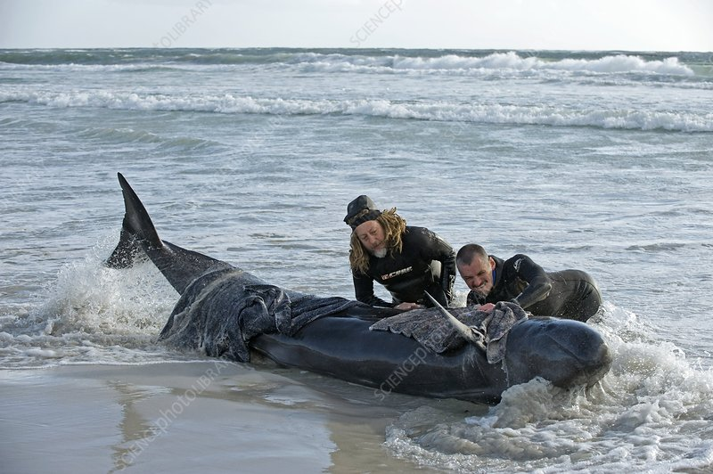 Beached False Killer Whale
