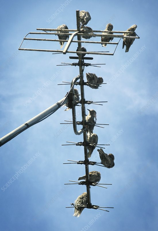 Birds roosting on a television aerial