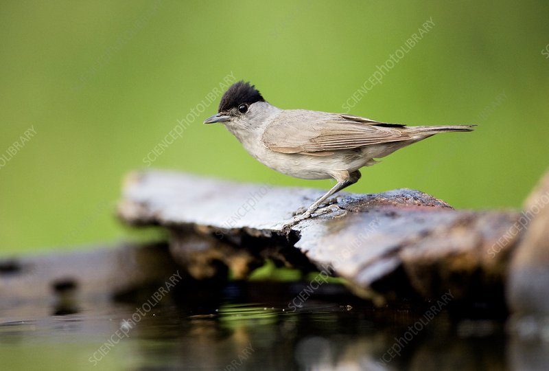 Male Blackcap