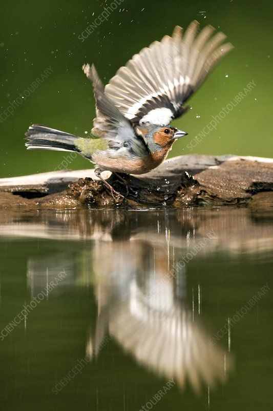 Male Chaffinch bathing