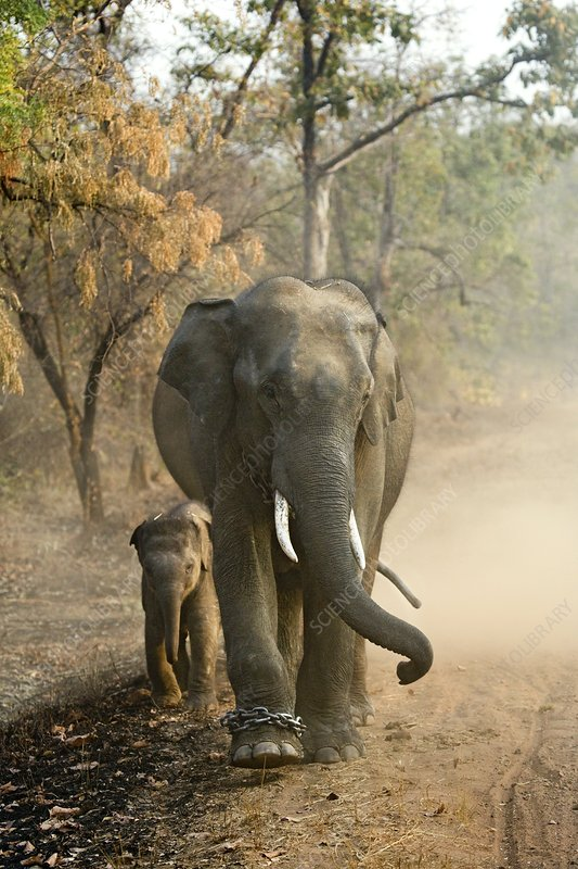 Working Indian Elephants