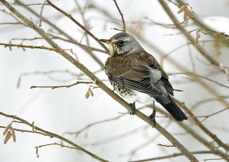 Fieldfare perching in a tree