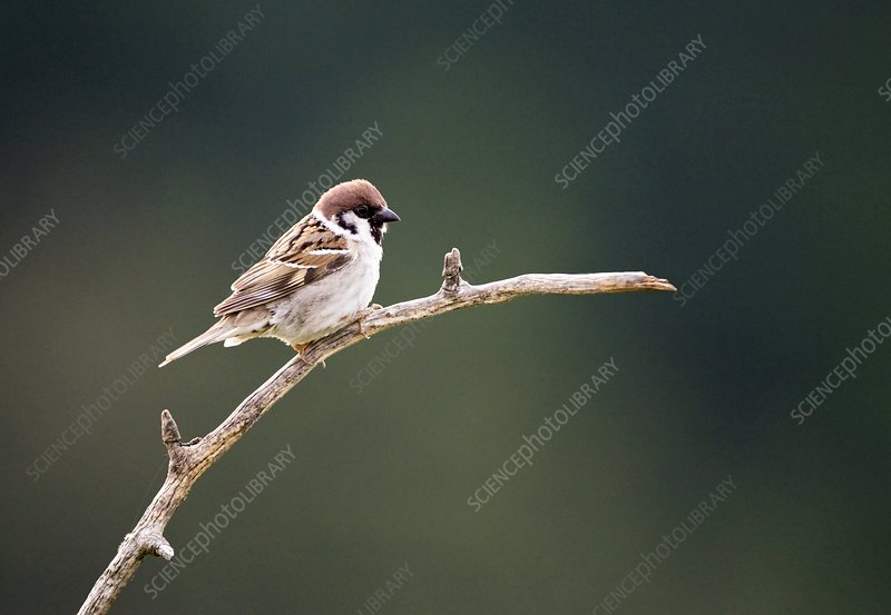 Male Tree Sparrow