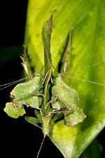 Leaf-mimic katydids courting