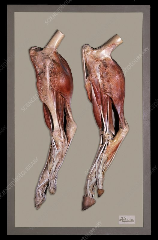 Animal anatomy models