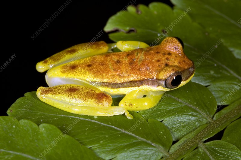 Red-striped tree frog