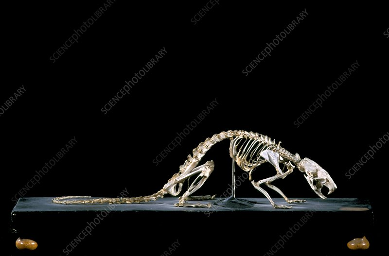 19th century rat skeleton