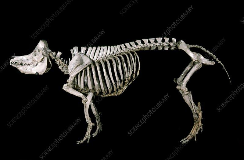 19th century wild boar skeleton - Stock Image C004/2173 ...