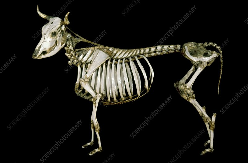 18th century cow skeleton