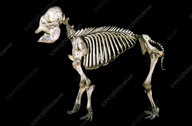 19th century elephant calf skeleton