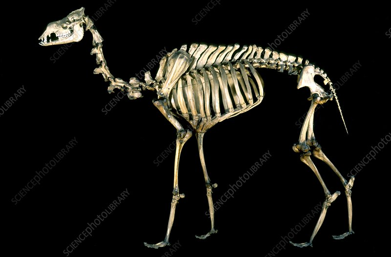 19th century camel skeleton